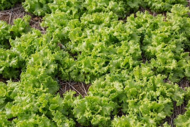 Green salad that is ready to be harvested in the garden. Free Photo