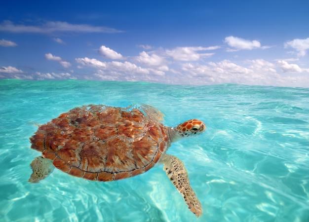 Green sea turtle chelonia mydas  caribbean Premium Photo