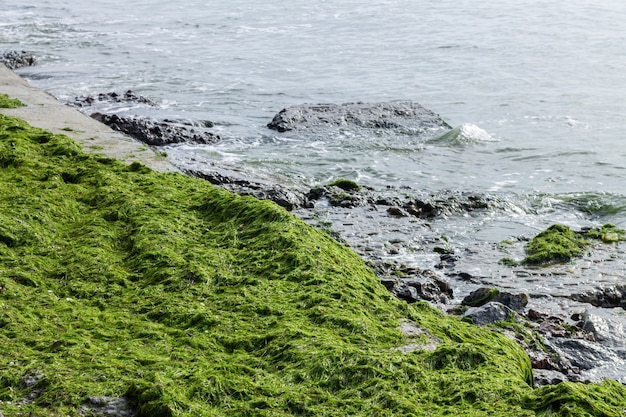 Green seaweed at ocean coast beach Premium Photo
