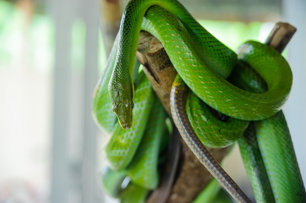 Green snake on a tree. snake farm in thailand Premium Photo