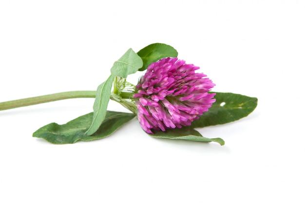 Green sprig of flowering clover Premium Photo