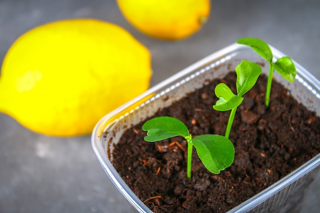 A green sprout of lemon in a pot. seedling from the bones. ripe lemon fruit next to a tree. Premium Photo