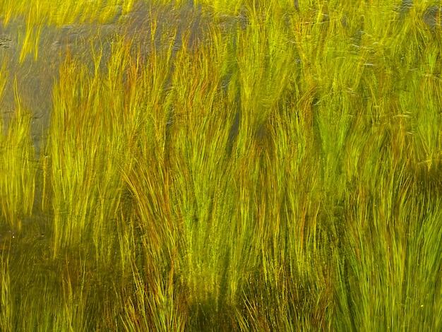 Зеленые стебли водорослей в чистой воде реки. Premium Фотографии