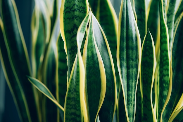 Green succulent plant. macro of leaves of sansevieria trifasciata, snake plant. Premium Photo