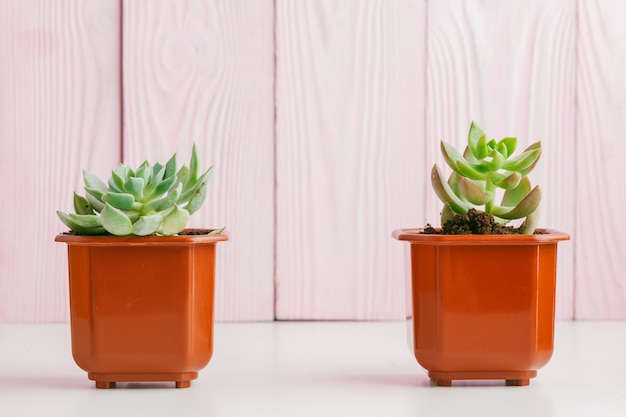 Green succulents on pink wooden background. Premium Photo