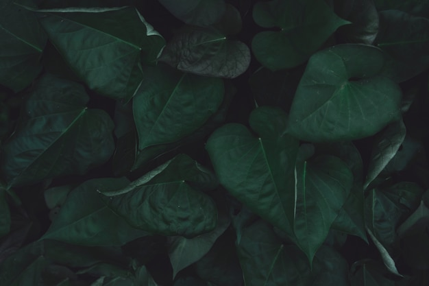 Green sweet potato leaves Premium Photo