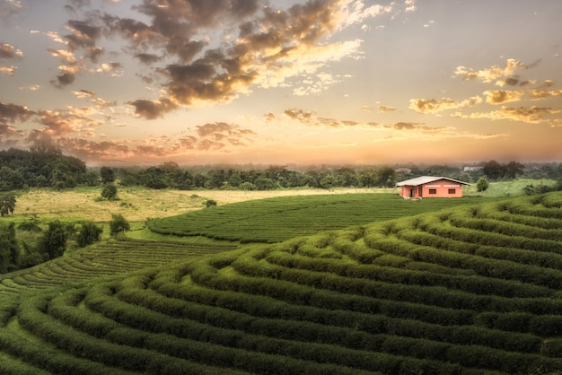 Green tea farm at chiang rai, thailand Premium Photo