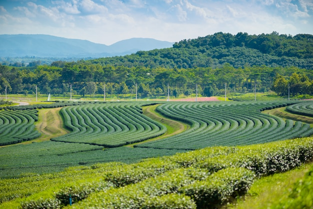 Green tea field with blue sky Premium Photo