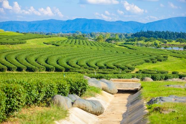 Green tea field with blue sky Premium Photo