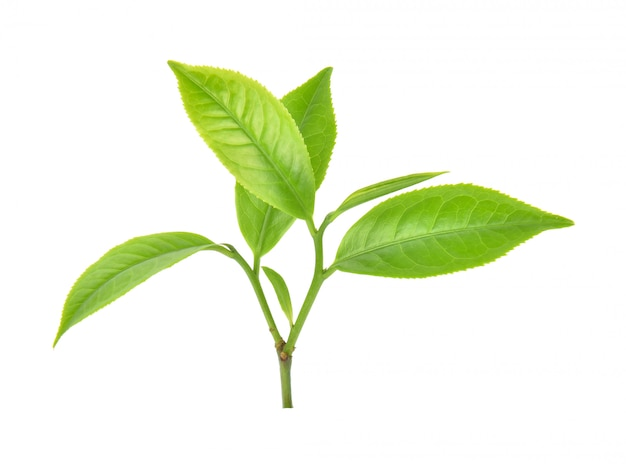 Green tea leaf on white background Premium Photo