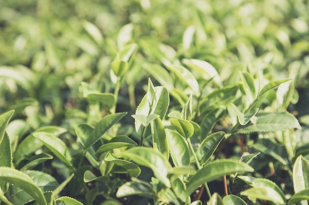 緑茶は畑に残す Premium写真