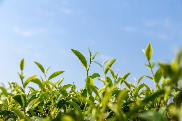 緑茶が青空の下の畑に残る Premium写真