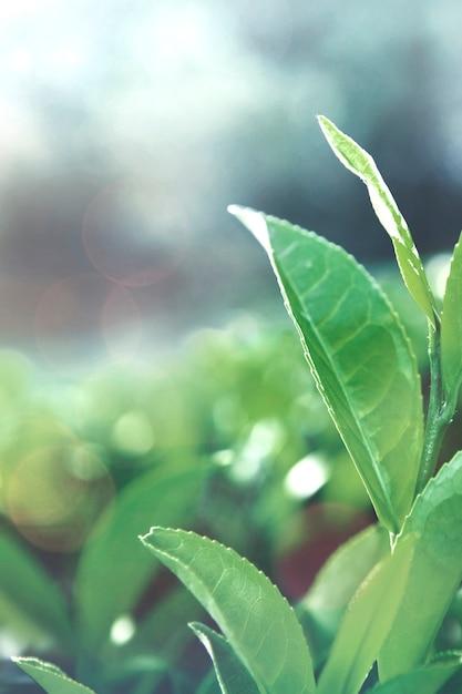 Green tea leaves in a field Free Photo