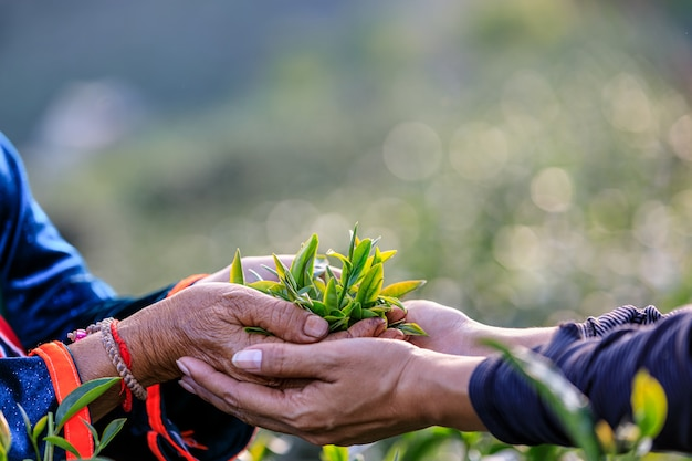 Green tea leaves in holding hand two farmers and farmland Premium Photo