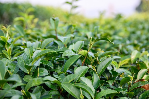 Green tea leaves in plantation Premium Photo
