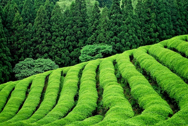 Green tea plantation in south east asia Free Photo
