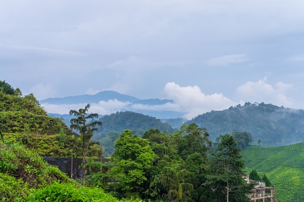 Green tea plantations in the hills in the highlands. the best tea grows in humid, foggy climates high in the mountains. Premium Photo