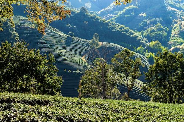 Piantagioni di tè verde sulla sommità della provincia di chiang rai, thailandia paesaggio vista natura Foto Gratuite