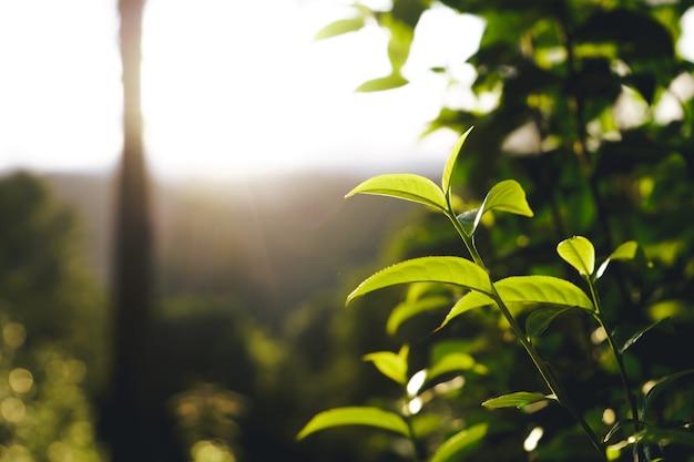 Green tea tree assam tea leaves on the mountain in the evening Premium Photo