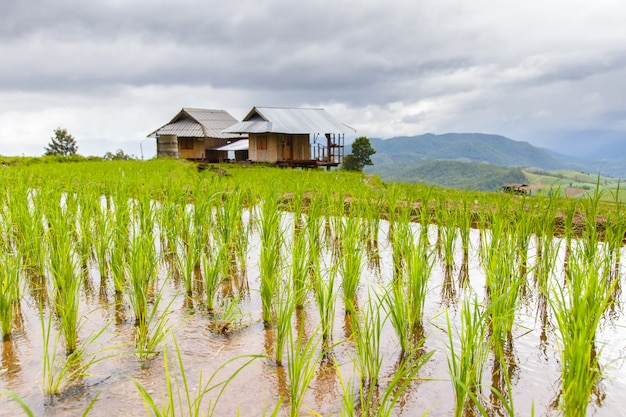 Green terraced rice field in pa pong pieng , mae chaem, chiang mai, thailand Premium Photo