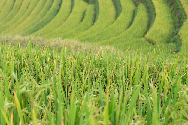 Green terraced rice fields at mu cang chai Premium Photo