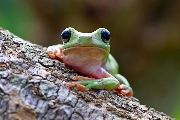 緑のアマガエル、だまされやすいカエル、パプア Premium写真