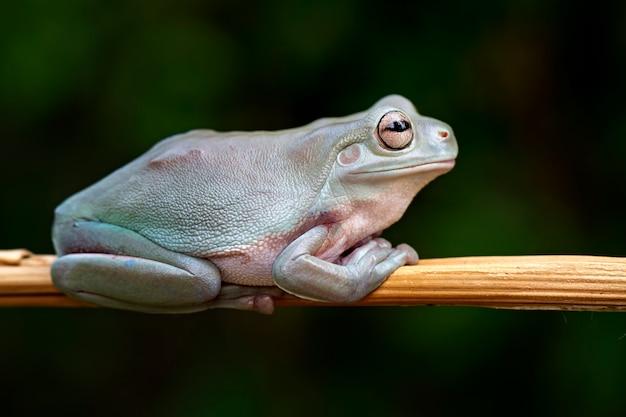 Green tree frog, dumpy frog, papua green tree frog Premium Photo