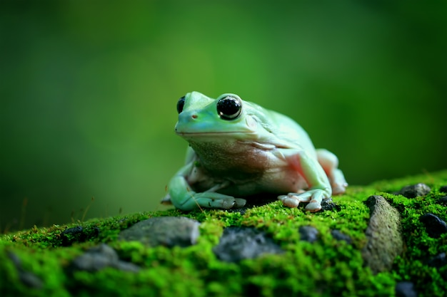 Green tree frog, dumpy frog, papua green tree frog Premium Photo