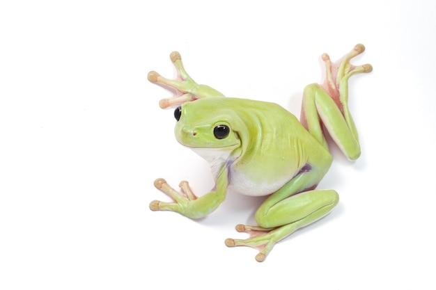 Green tree frog on white background Premium Photo