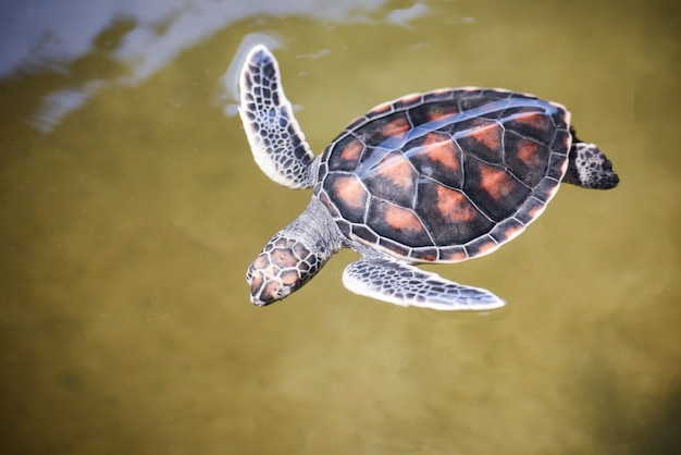 Green turtle farm and swimming on water pond / hawksbill sea turtle little baby 2-3 months old Premium Photo