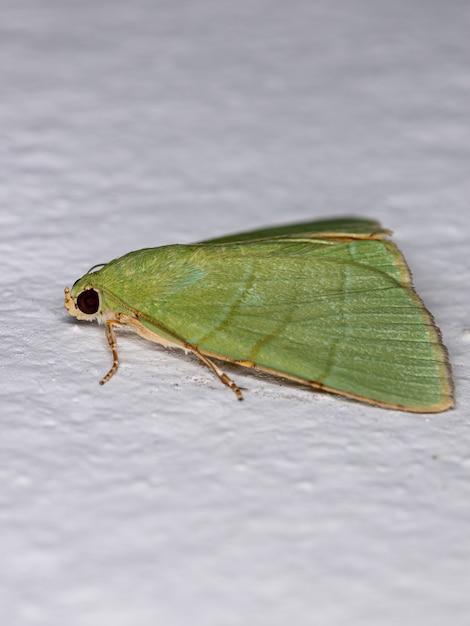 Зеленая подкрыловая моль из рода eulepidotis Premium Фотографии