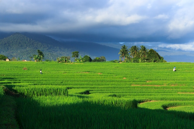 Green views of rice fields and farmers during the daytime in indonesia Premium Photo
