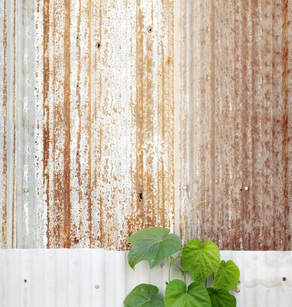 Green weed on old rusty galvanized wall,old abandoned house,color toned. Premium Photo