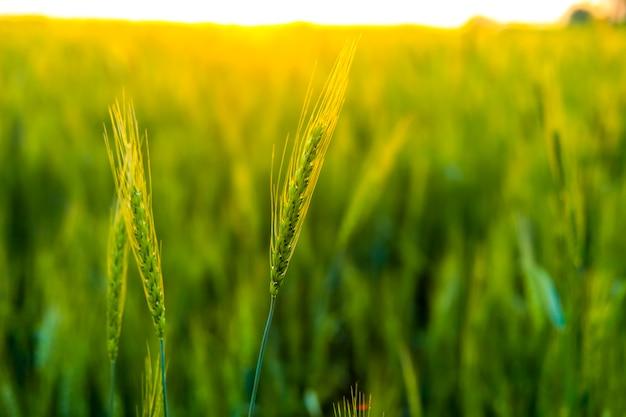Green wheat field in india Premium Photo