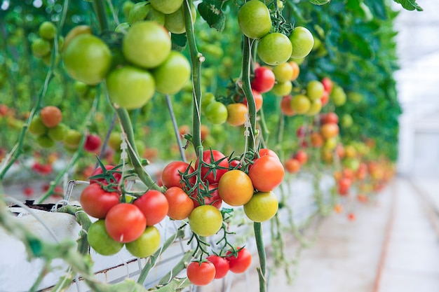 Green, yellow and red tomatoes hanged from their plants inside a greenhouse. Free Photo