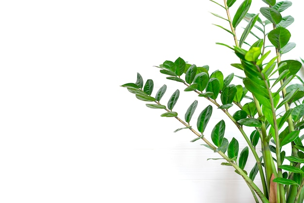 Green zamioculcas zamiifolia plant with white pot on wooden table house plant, home decor concept Pr