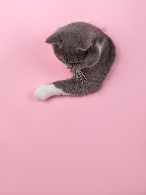 ピンクの紙の穴から灰色の美しいかわいい猫がのぞきます。コピースペース。 Premium写真