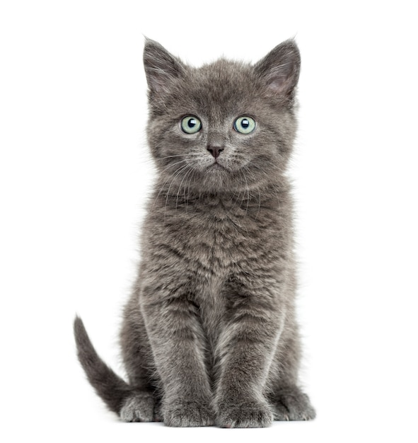 Grey Cat Images Free Vectors Stock Photos Psd