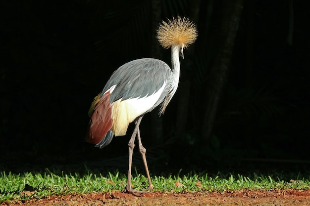 Grey crowned crane bird relaxing in the sunlight, foz do iguacu, brazil, south america Premium Photo