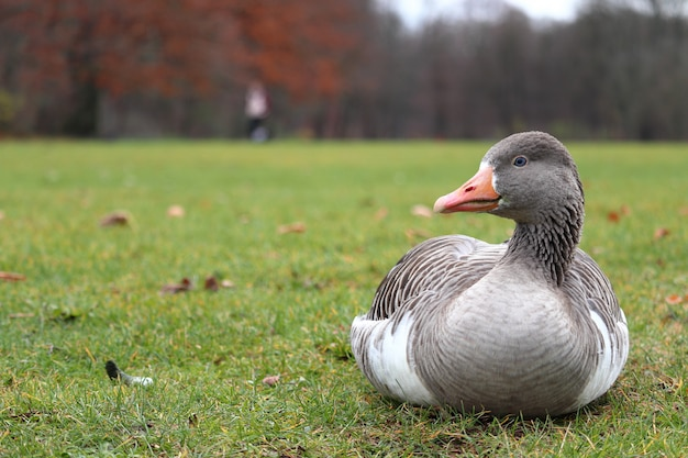 背景をぼかした写真を持つ草の上に座っている灰色のアヒル 無料写真
