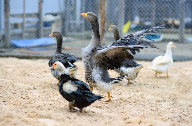 灰色のガチョウとジャコウアヒルが養鶏場を歩く Premium写真