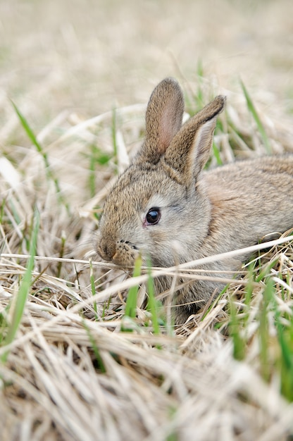 A grey rabbit in hay on the farm. pretty rabbit on a dry grass Premium Photo