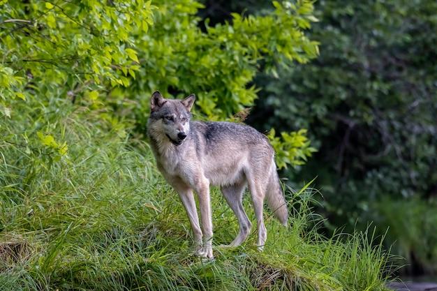 Серый волк на траве Premium Фотографии
