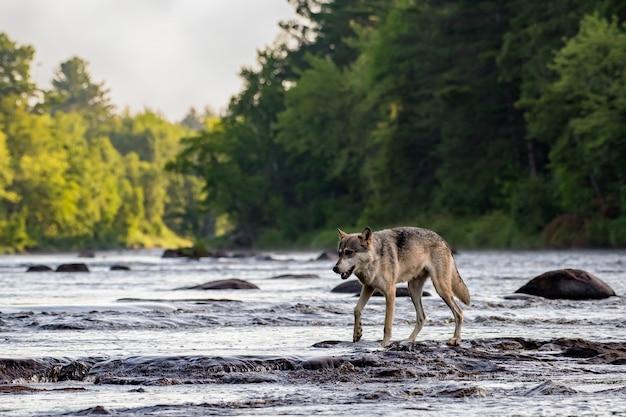 Серый волк идет по скалам в текущей реке Premium Фотографии
