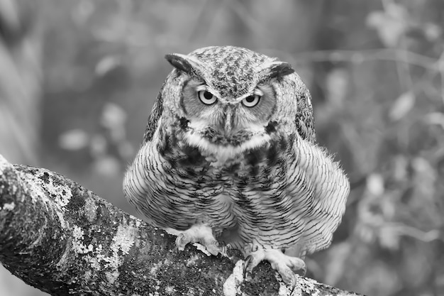 Greyscale closeup of a black horned owl on a tree branch Free Photo