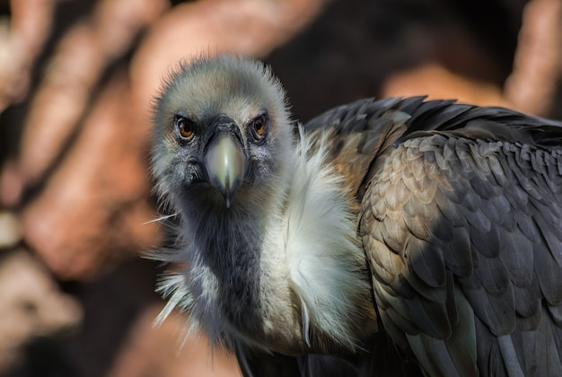 Griffon vulture portrait  (gyps fulvus), with sunlight and shadow, and with rocks Premium Photo