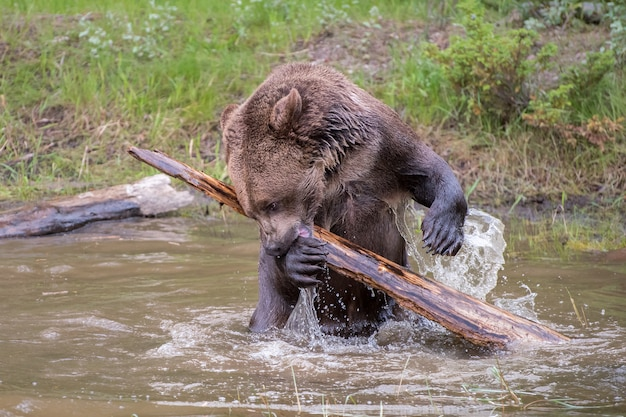 Медведь гризли, рыскающий по бревну и плещущийся в воде Premium Фотографии