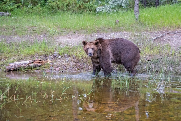 Медведь гризли, идущий в воду с хорошим отражением Premium Фотографии