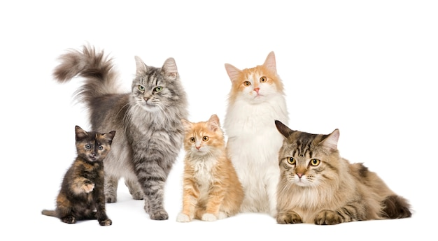 Group of 5 cats in a row : norwegian, siberian and persian cat in a row isolated Premium Photo
