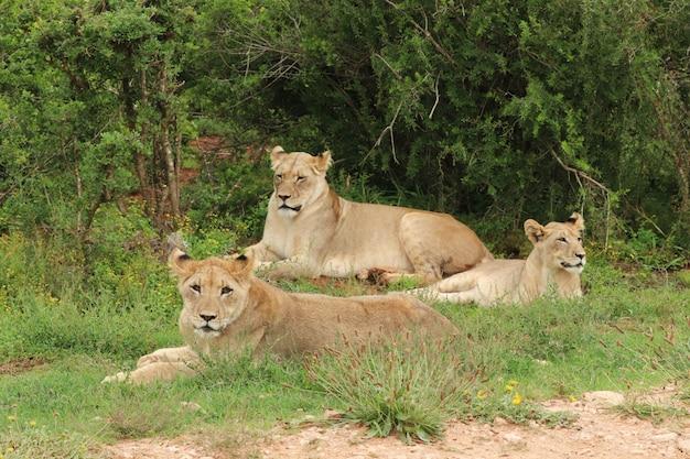 Gruppo di belle leonesse sdraiato con orgoglio sul campo coperto di erba vicino agli alberi Foto Gratuite